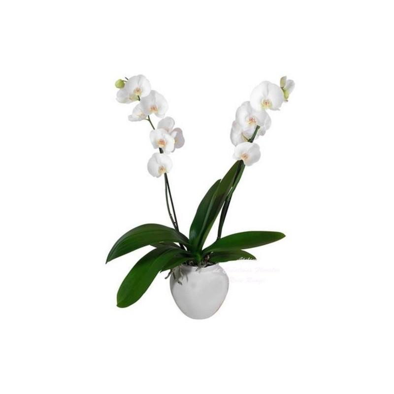 orchid e phalaenopsis. Black Bedroom Furniture Sets. Home Design Ideas