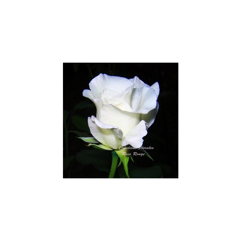 Coussin carre rose et violine for Envoi fleurs deuil